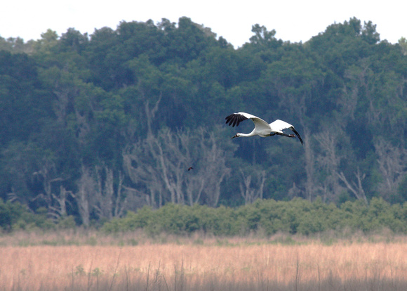 Whooping Crane over the Prairie
